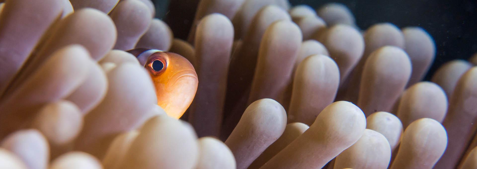 Banner_Clown-anemonefish-Amphiprion-ocellaris_1920x681