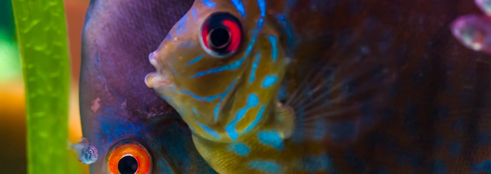 Male-and-female-discus-fish-with-baby-fish_1920x600-