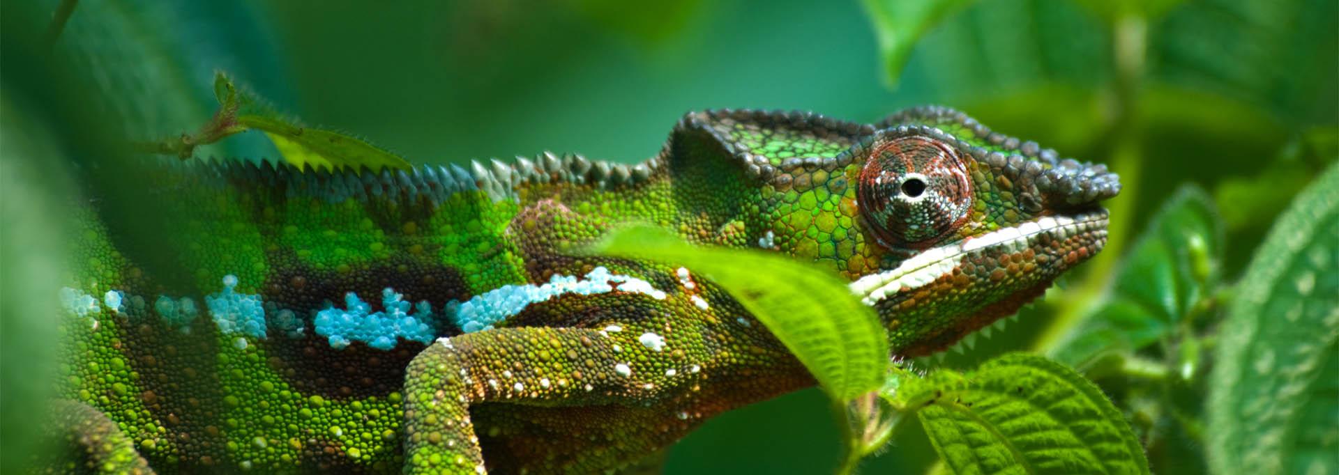 Green-chameleon_1920x681