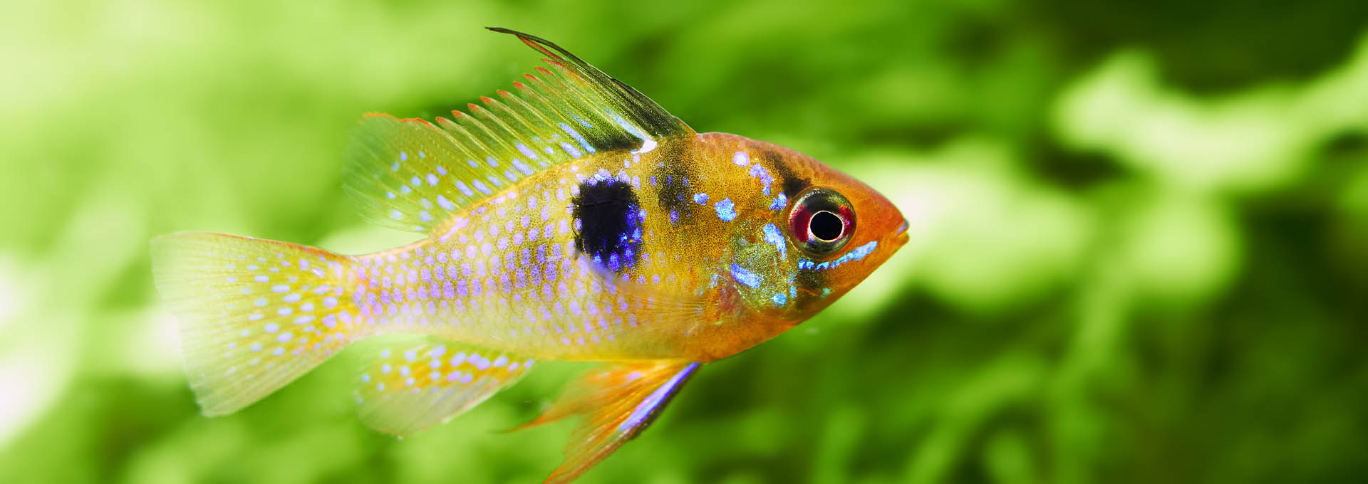 Papiliochromis-ramirezi-called-Butterfly-fish-_1920x681
