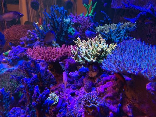 Thriving coral through Alkalinity Control via GHL KH Director